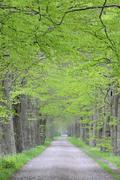 Tree Lined Path, Netherlands - stock photo
