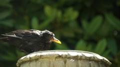 Bird splashing in English garden bird bath Stock Footage
