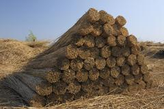 Stock Photo of Drying Reed, Burgenland, Austria