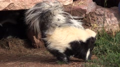 P03901 Striped Skunk with Tail Up and Walking Stock Footage
