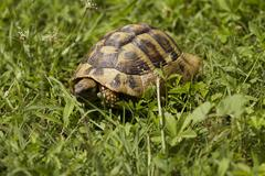 brown turtle creeps on green grass sunny summer afternoon. - stock photo