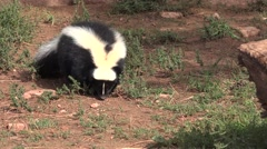 Stock Video Footage of P03903 Striped Skunk Walking Forward