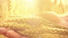 Man's hand touching wheat ears closeup. Harvest concept Stock Footage