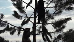 P03905 Black Bear Cubs Climbing Pine Tree Branches Stock Footage