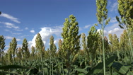 Stock Video Footage of 4K Sorghum Crop Seed Heads Blossom