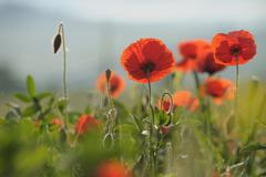 Stock Photo of Poppies, Castiglione d'Orcia, Siena Province, Val d'Orcia, Tuscany, Italy
