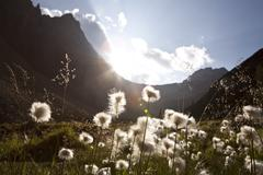 Cotton Grass in Meadow and Mountains, Columbia Icefield, British Columbia, - stock photo
