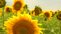 Sunflower field. Blooming field of a sunflowers Stock Footage