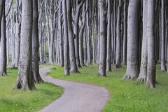 Beech Trees, West Pomerania, Mecklenburg-Vorpommern, Germany - stock photo