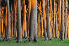 Beech Trees, West Pomerania, Mecklenburg-Vorpommern, Germany - stock photo