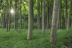 Sun through Beech Trees, Mecklenburg-Vorpommern, Germany - stock photo