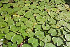 Lily Pads at the Brion-Vega Cemetery, San Vito d'Altivole, Treviso Province, Stock Photos