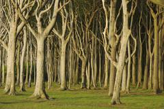Beech Trees, Nienhagen, Bad Doberan, Western Pomerania, Mecklenburg-Vorpommern, - stock photo