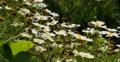 4K Daisy 02 White Flower 4k or 4k+ Resolution