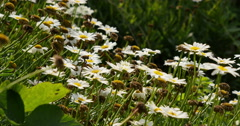 4K Daisy 02 White Flower Stock Footage
