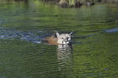 Mountain Lion Swimming. Minnesota, USA Kuvituskuvat