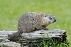Groundhog, Minnesota, USA - stock photo