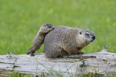 Groundhog with Young, Minnesota, USA - stock photo