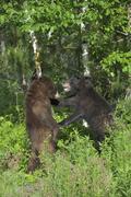 Black Bears Sparring, Minnesota, USA Kuvituskuvat