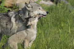 Gray Wolf Pup Licking Mother, Minnesota, USA - stock photo