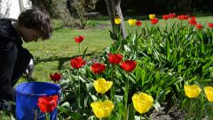 Tilt up of gardener woman work between tulip flower beds Stock Footage