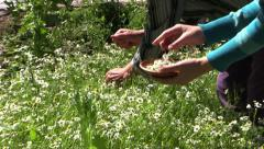 Old grandmother and young pregnant girl pick camomile flower Stock Footage
