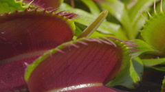CLOSE UP: Opened jaws of snap trap carnivorous plant - stock footage
