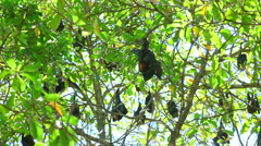 Flock of Flying foxes at the tree Stock Footage