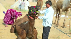 Hundreds of camels and teamsters at Pushkar Camel Mela, Rajasthan, India. Stock Footage