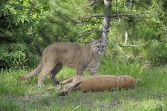 Mountain Lion with Prey, Minnesota, USA Kuvituskuvat