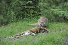 Mountain Lion with Prey, Minnesota, USA Kuvituskuvat