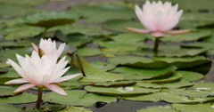 4K Lily Pad 04 Reflections on water Stock Footage