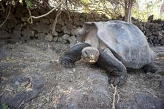 Galapagos Giant Tortoise, Isla Espanola, Galapagos Islands, Ecuador - stock photo