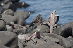 Marine Iguanas, Isla Espanola, Galapagos Islands, Ecuador - stock photo