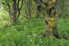 Forest, Ruegen Island, Ruegen District, Mecklenburg, Mecklenburg-Vorpommern, - stock photo