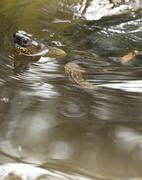 Turtle, Tortuguero, Limon Province, Costa Rica - stock photo