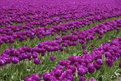 Stock Photo of Tulip Farm, Skagit Valley, Washington, USA