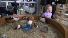 Girl play with guinea pigs in contact zoo Stock Footage