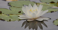 Stock Video Footage of 4K Lily Pad 07 Reflections on water