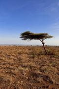 Tree in Marsabit National Park and Reserve, Marsabit District, Kenya Stock Photos