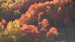 Colorful Aspens in Fall Stock Footage