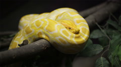 Snake, Golden Thai Python slithers on the tree Stock Footage