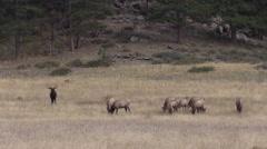 Bull  Elk Bugling in Rut Stock Footage