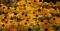 4K Sunflowers 02 Waving in wind 4k or 4k+ Resolution