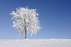 Stock Photo of Tree with Hoar-frost, Canton of Zug, Switzerland