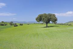 Holm Oak Tree in Field, Andalusia, Spain - stock photo