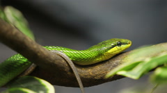 Snake, Red-tailed Rat-snake on the tree Stock Footage