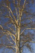Sycamore Tree, Aschaffenburg, Franconia, Bavaria, Germany Stock Photos
