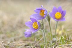Pasque Flower, Wuerzburg, Franconia, Bavaria, Germany Stock Photos