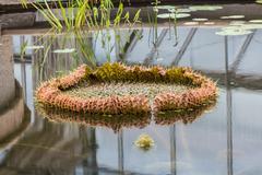 Giant victoria lotus in water Stock Photos